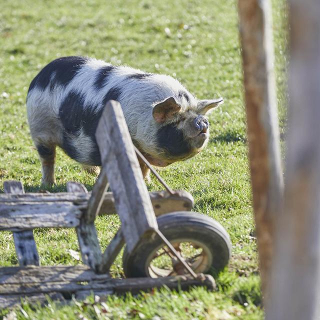 Asinerie Bois Gamat cochon