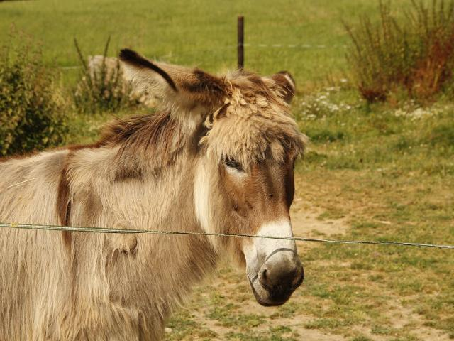 Ferme de la papinière - âne -Saint Georges de buttavent - Mayenne